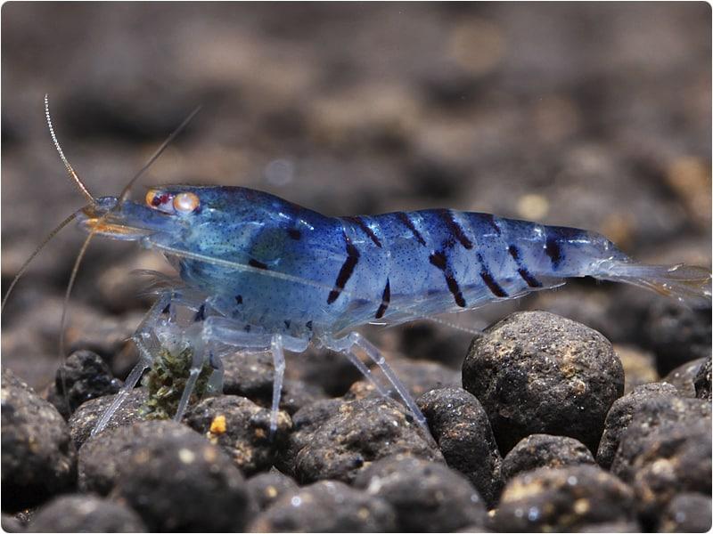 blue-tiger-shrimp-information-3