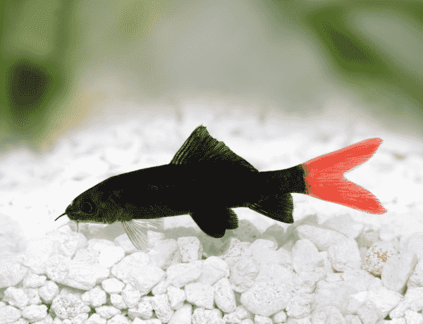 Red Tail Shark Tankmates Care Guide And More Banner 9314740 600x460