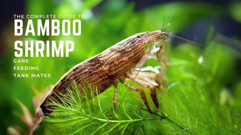 bamboo-shrimp-information-2