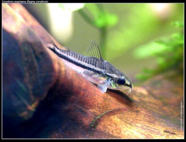 Corydoras Pygmaeus Carnat Joel 5 8582377 600x460