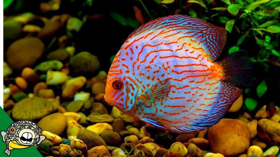 discus-fish-information-3