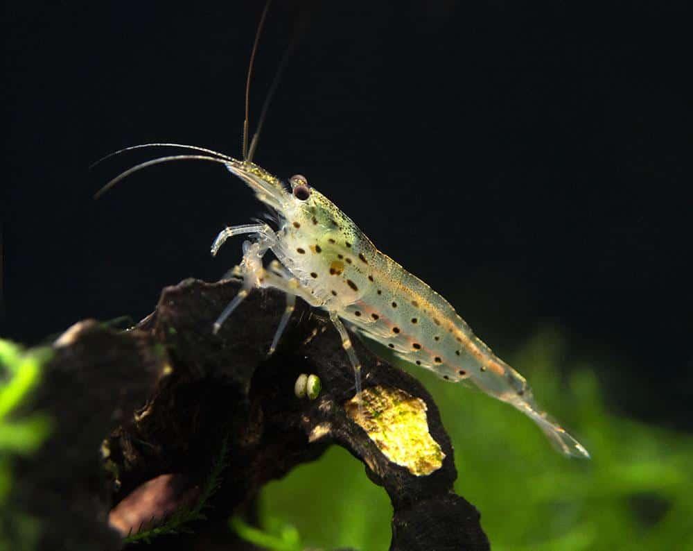 amano-shrimp-caridina-multidentata-2