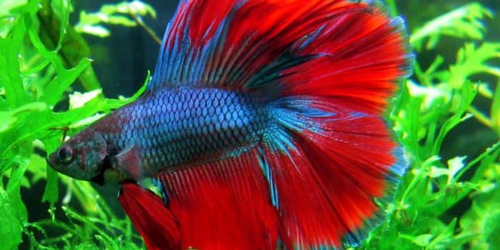 Betta Best Freshwater Aquarium Fish For Beginners Easy Fish For Fish Tanks Aquaticmag 7839960