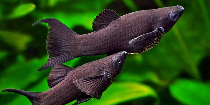 Black Molly Best Freshwater Aquarium Fish For Beginners Easy Fish For Fish Tanks Aquaticmag 1577868
