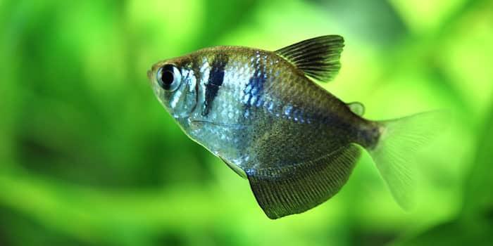 Black Skirt Tetra Best Freshwater Aquarium Fish For Beginners Easy Fish For Fish Tanks Aquaticmag 5812056