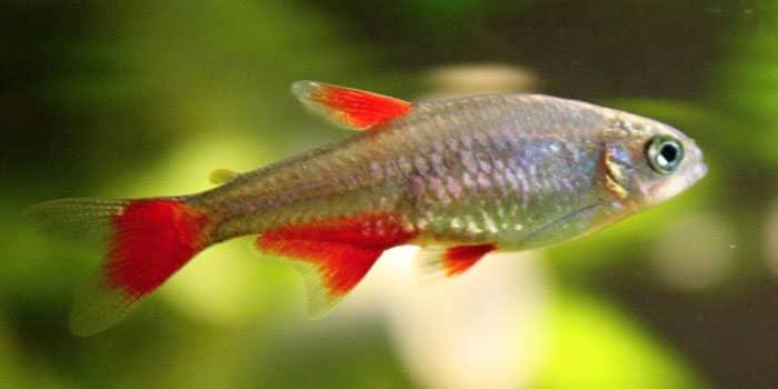 Blood Fin Tetras Best Freshwater Aquarium Fish For Beginners Easy Fish For Fish Tanks Aquaticmag 7986171