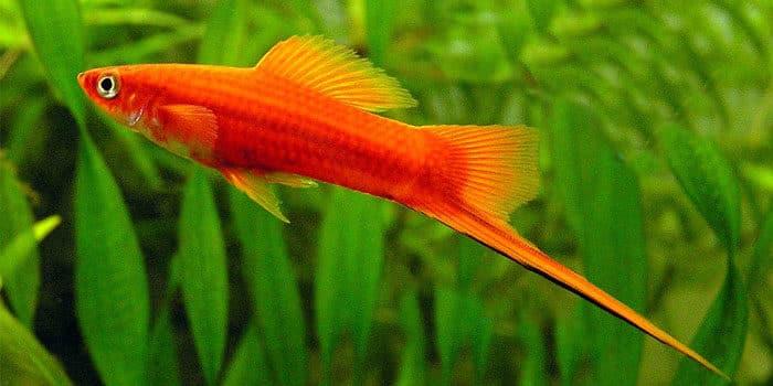 Swordtails Best Freshwater Aquarium Fish For Beginners Easy Fish For Fish Tanks Aquaticmag 6933806