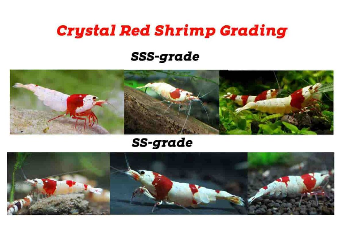 Crystal Shrimp Grade List Color 2587340 1140x785