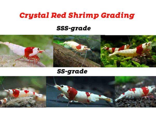 Crystal Shrimp Grade List Color 2587340 600x460