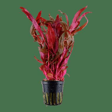 alternanthera-reineckii-pink-roseafolia-3