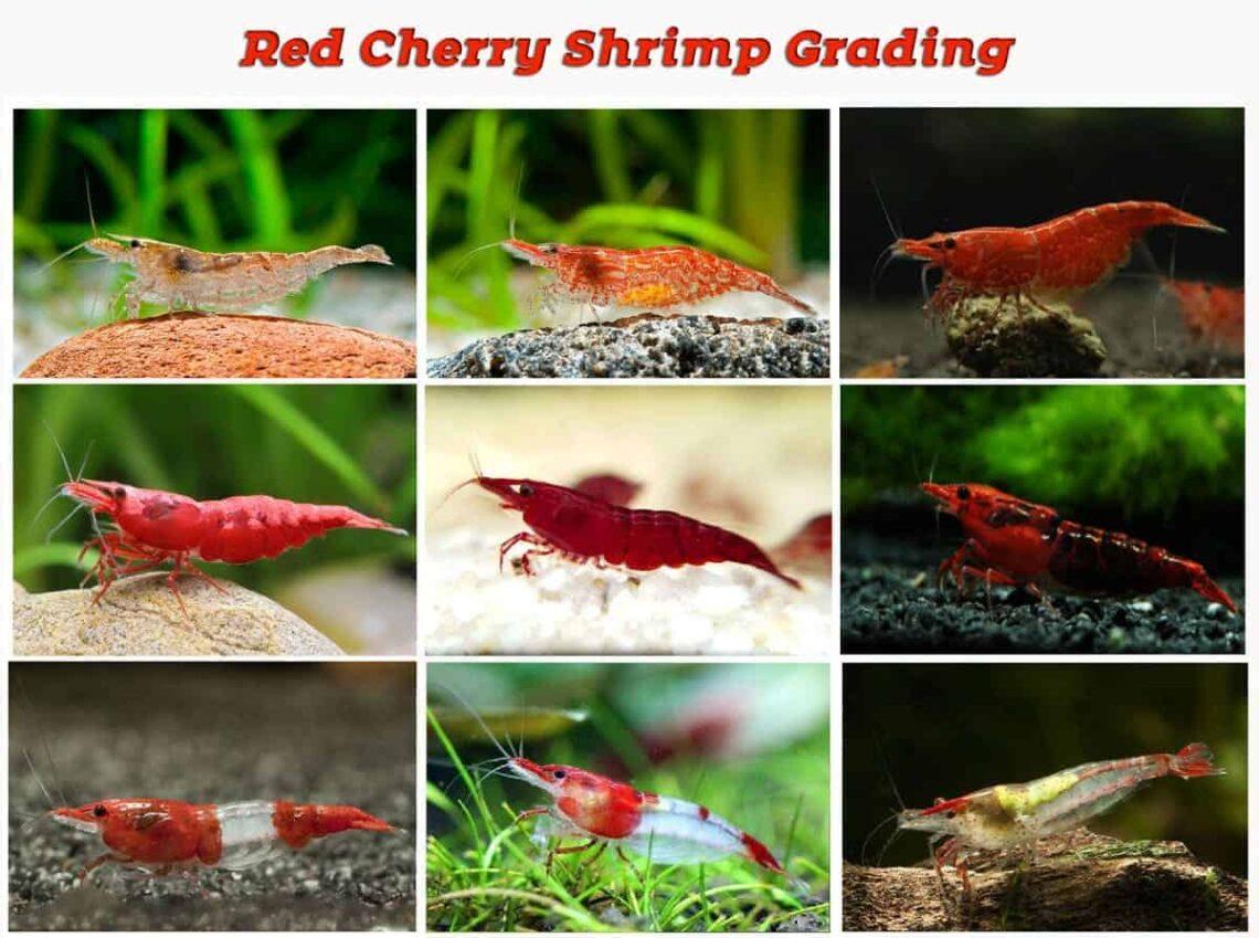 crystal-red-shrimp-grade-information-walking-around-red-cherry-shrimp-2