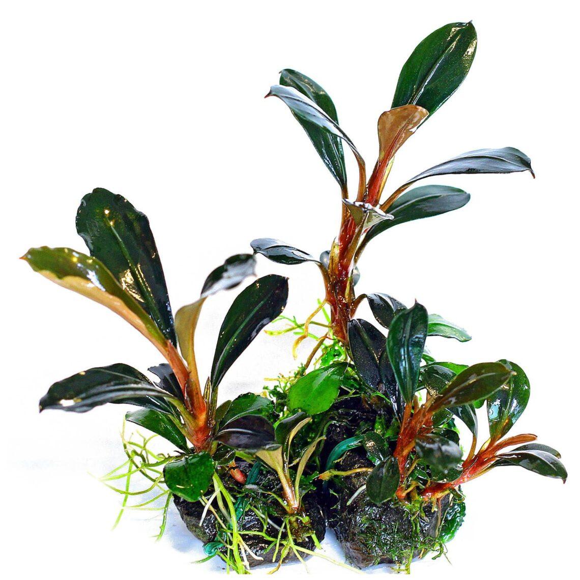 Bucephalandra Pygmaea Kapit 2583691 1140x1140