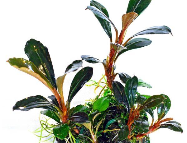 Bucephalandra Pygmaea Kapit 2583691 600x460