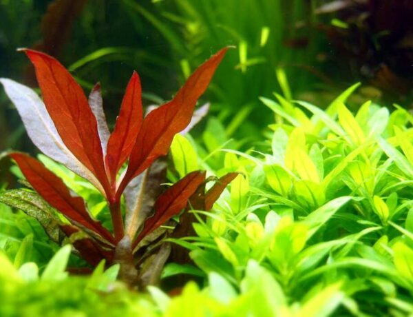 Alternanthera Reineckii Mini Care Sheet Reineckii Mini For Sale And Where To Buy Aquaticmag 5 600x460