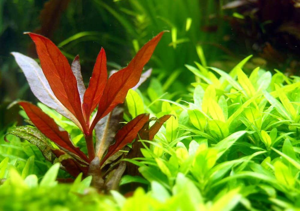 Alternanthera Reineckii Mini Care Sheet Reineckii Mini For Sale And Where To Buy Aquaticmag 5