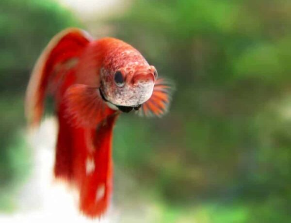 Betta Splendens Betta Information And Wiki Betta Splendens For Sale And Where To Buy Aquaticmag 5 600x460