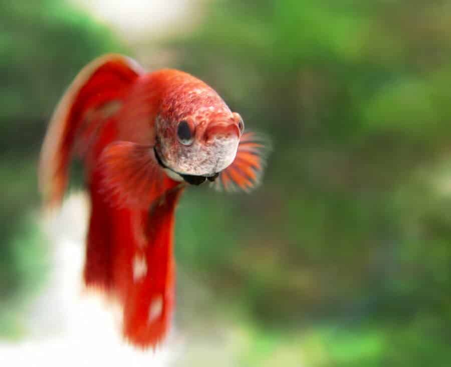 Betta Splendens Betta Information And Wiki Betta Splendens For Sale And Where To Buy Aquaticmag 5