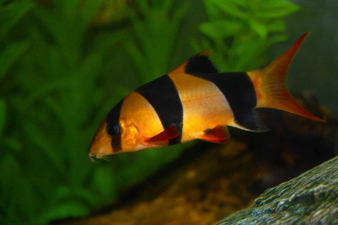 Clown Loach Information And Wiki Clown Loach For Sale And Where To Buy Aquaticmag 1 Scaled 1140x758