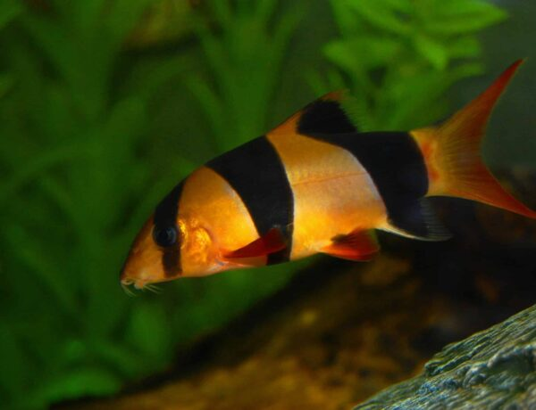Clown Loach Information And Wiki Clown Loach For Sale And Where To Buy Aquaticmag 1 Scaled 600x460