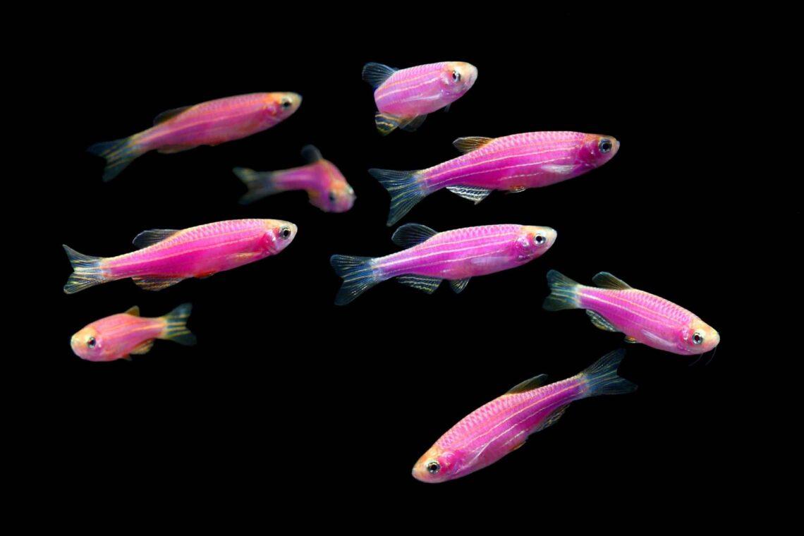 Glofish Danio Rerio Purple Danio Information Wiki Glofish Danio For Sale And Where To Buy Aquatic Mag 1 Scaled 1140x760