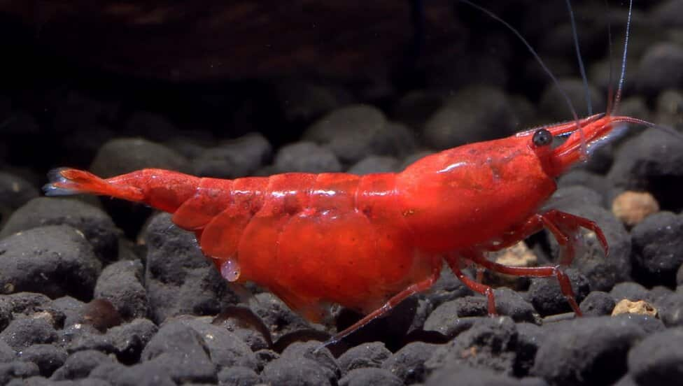 Red Cherry Shrimp Eating Mulberry Leaves Red Cherry Shrimp For Sale And Where To Buy Aquaticmag