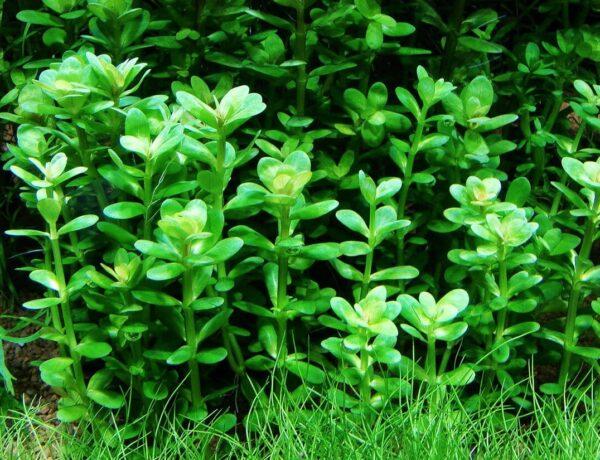 Rotala Indica Sp Bonsai Information And Caresheet Ammania Sp Bonsai For Sale Aquaticmag 4 600x460