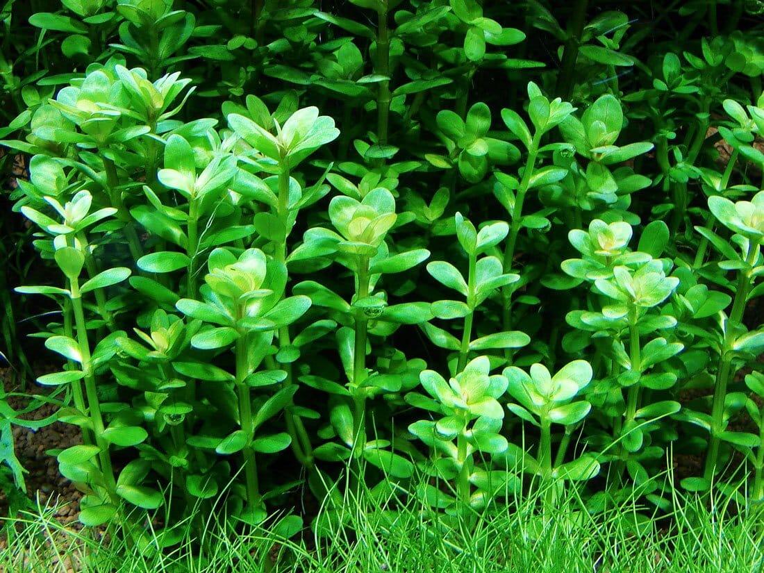 Rotala Indica Sp Bonsai Information And Caresheet Ammania Sp Bonsai For Sale Aquaticmag 4
